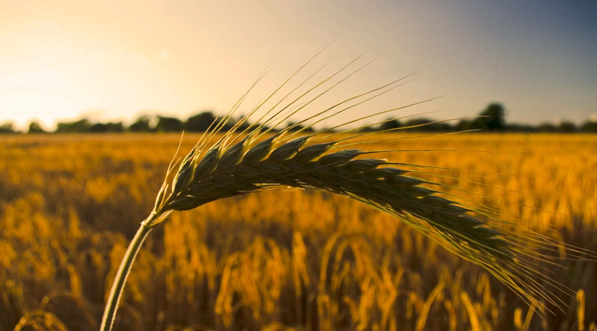 A Head of Barley - Dusk Approaching