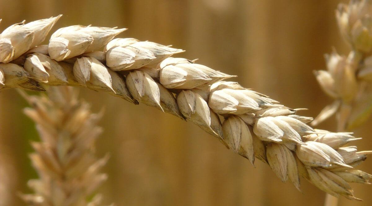 Ear of Grain - Closeup
