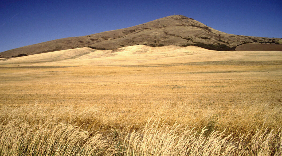 Field of Ripe Wheat and Hill