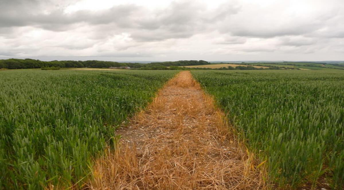 Path Through a Field at Saint Catherine's Hill, Cerne Abbas